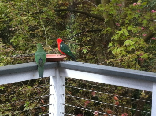 King Parrots enjoying a feed of seed on the back deck.