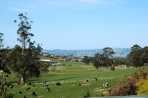 The cows from the farm over the back fence often graze nearby